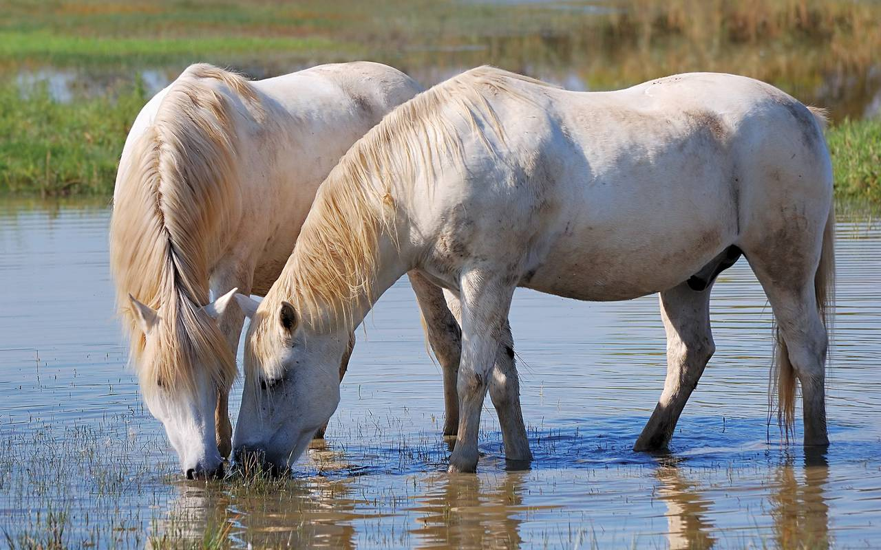 Horses who drink hotel in camargue